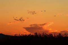 夕焼けと白鳥
