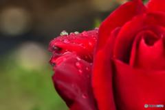 薔薇の玉滴