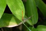 白神の昆虫(8)