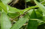白神の昆虫(3)
