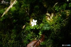 高山植物  Ellisiophyllum pinnatum Makino