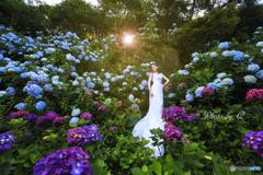 紫陽花の花嫁
