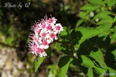 台湾しかない高山植物 ニイタカシモツケ 玉山繡線菊