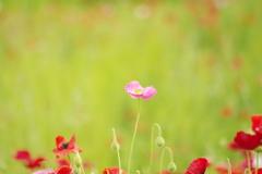 ピンクのヒナゲシ