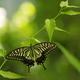 野に咲いたアゲハ蝶