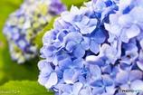 紫陽花-11