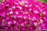 紫陽花-10