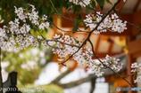 生田さんの桜6