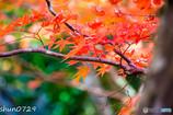 瑞宝寺公園の紅葉-4
