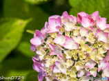 紫陽花-1
