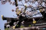 生田さんの桜8