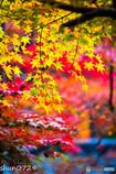 瑞宝寺公園の紅葉-2