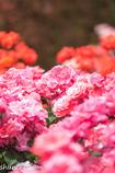 薔薇公園-6