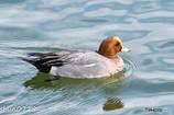 水辺の野鳥-3