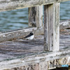水辺の野鳥-5