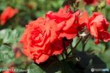 薔薇園-4
