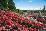 薔薇公園-2