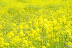 キカラシ畑