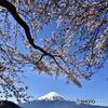 河口湖桜まつり