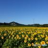 九月に咲く向日葵