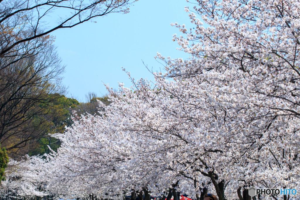 桜・満開(2)