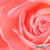 薔薇・ピンク