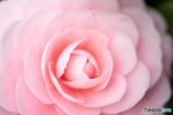 椿・ピンク