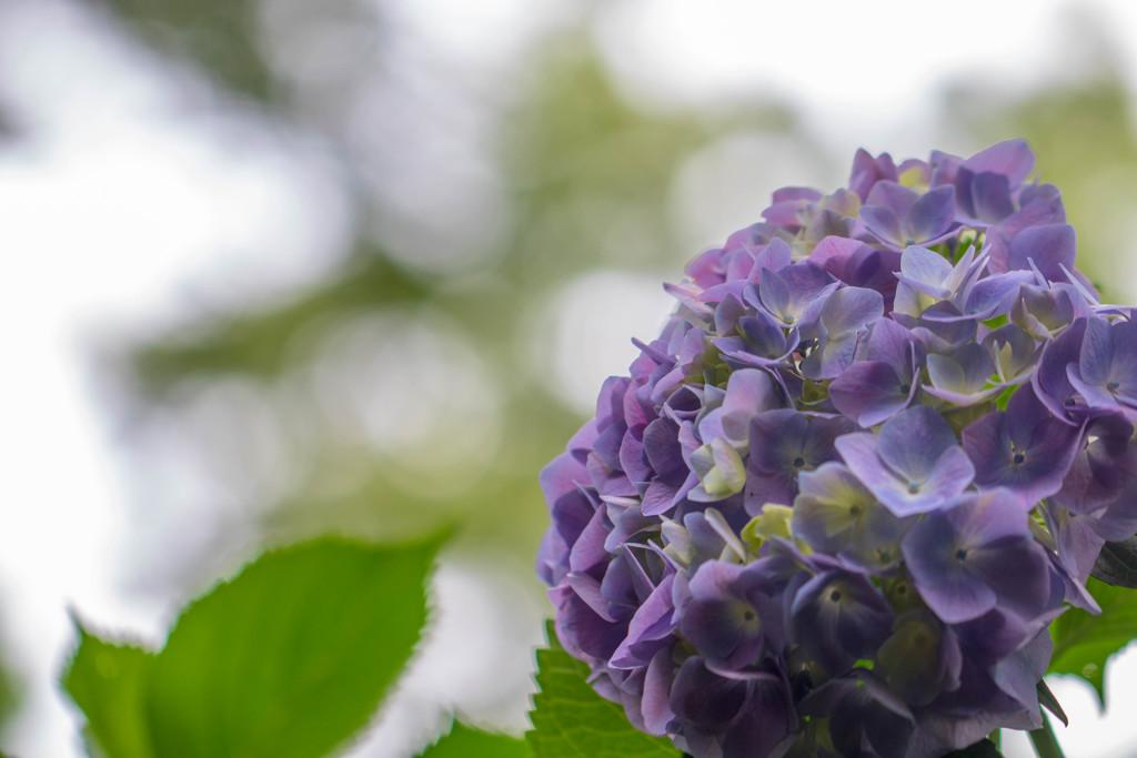 紫陽花・紫