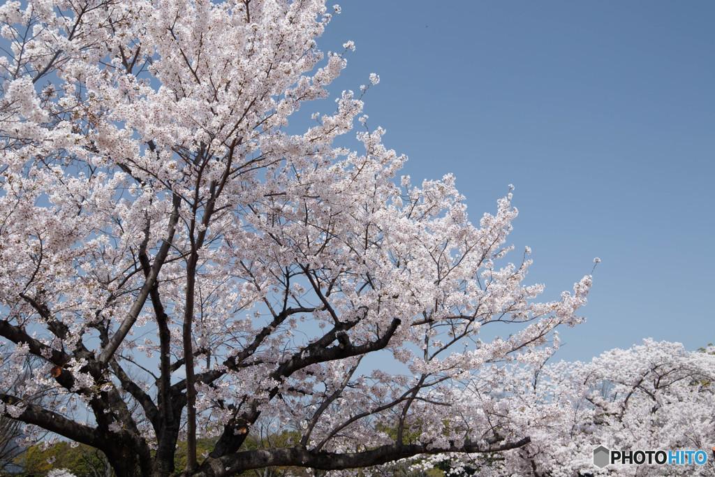 桜・満開(3)
