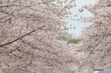桜満開(Ⅱ)
