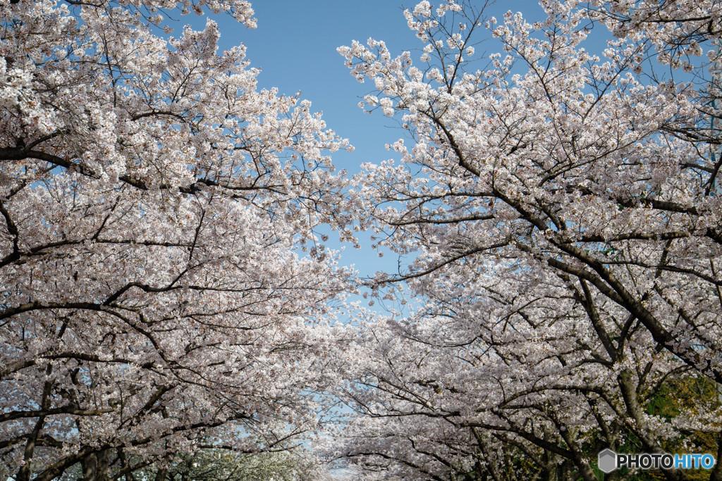 桜・満開(5)