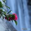 サザンカと滝