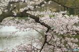 桜満開(Ⅰ)