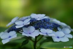 金澤神社の紫陽花です。