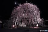 永養寺の枝垂れ桜