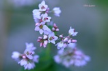 おまけ•蕎麦の花
