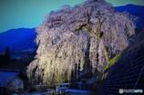 岩太郎の枝垂れ桜