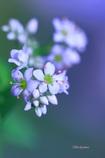 蕎麦の花Ⅱ