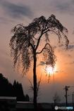 奥飛騨枝垂桜のシルエット