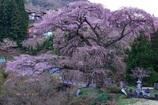 黒船桜(美麗)