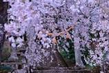 桜の中でお参りします