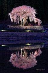 水戸野枝垂桜ライトアップⅢ