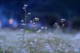 夕暮れの蕎麦の花