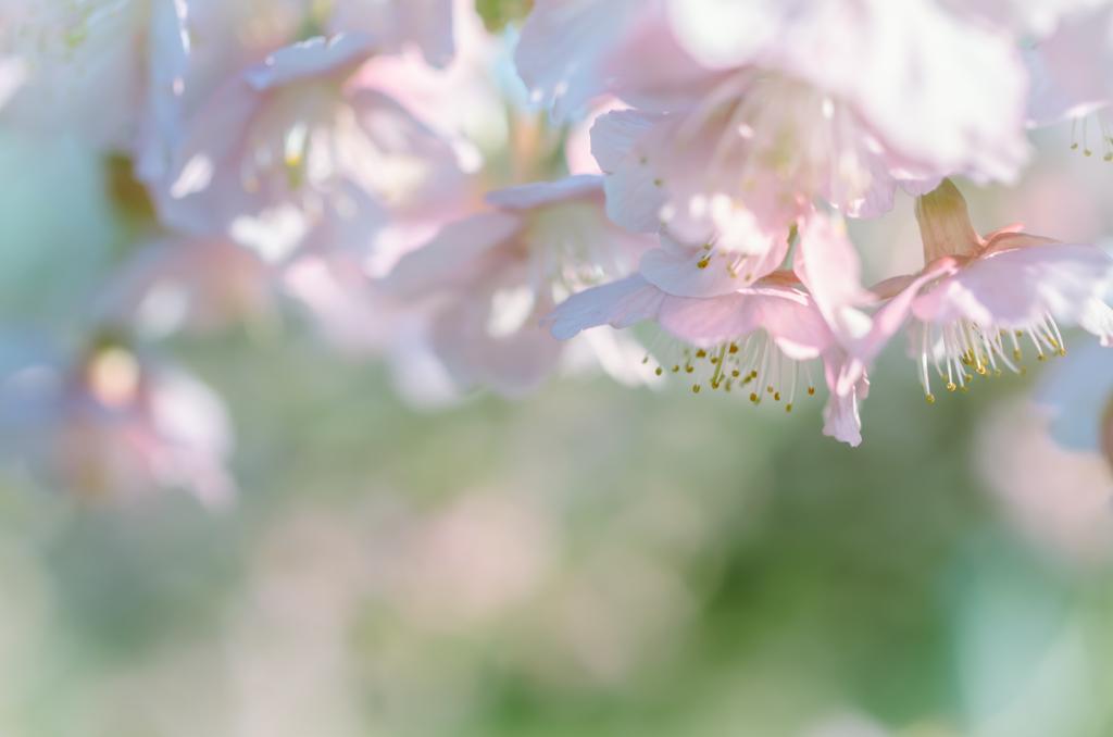 今日はとても暑いので、初春の桜を懐かしんでみる