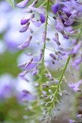 藤の花 Ⅰ