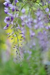 藤の花 Ⅱ