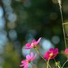 玉暈けと秋桜