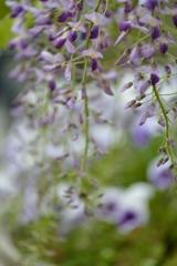 藤の花 Ⅲ