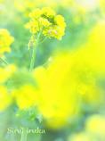 黄色い歌声