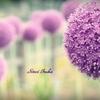 まんまる紫